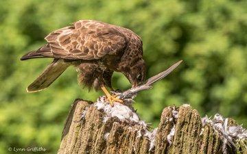 bird, beak, feathers, stump, mining, buzzard, lynn griffiths, bird of prey