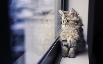 отражение, кот, мордочка, усы, кошка, взгляд, котенок, окно, подоконник, benjamin torode, ben torode, дейзи