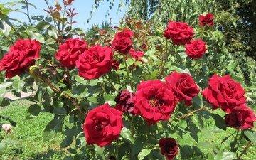 кусты, розы, красные, сад, куст