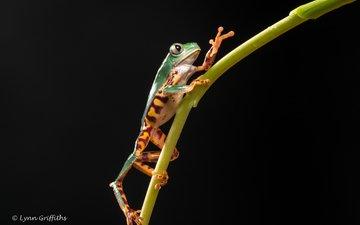 frog, black background, plant, stem, legs, lynn griffiths