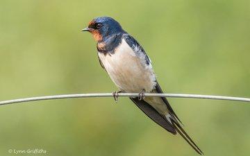 bird, beak, feathers, tail, swallow, lynn griffiths