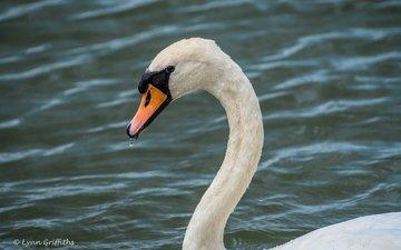 вода, белый, птица, клюв, перья, лебедь, lynn griffiths