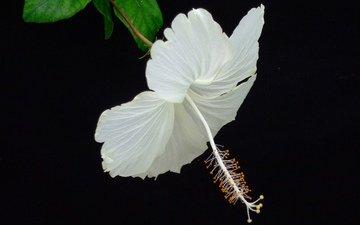 макро, фон, цветок, лепестки, черный фон, гибискус
