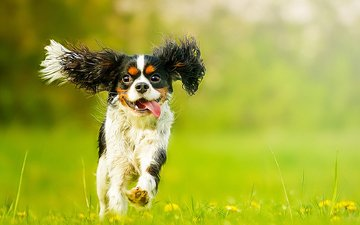 цветы, мордочка, взгляд, собака, щенок, одуванчики, язык, спаниель, кавалер-кинг-чарльз-спаниель