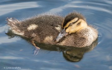 water, reflection, bird, beak, feathers, duck, mallard, lynn griffiths