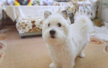 muzzle, look, dog, the west highland white terrier, zenok