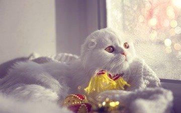 кот, мордочка, усы, кошка, взгляд, вислоухая, шотландская вислоухая