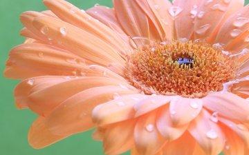 macro, drops, petals, gerbera