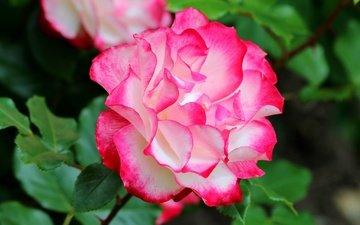 macro, rose, motley