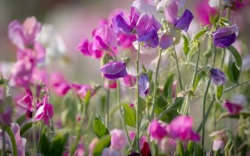 лето, розовый, душистый горошек