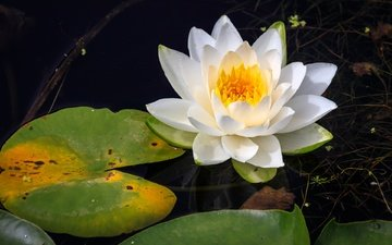 water, nymphaeum, water lily