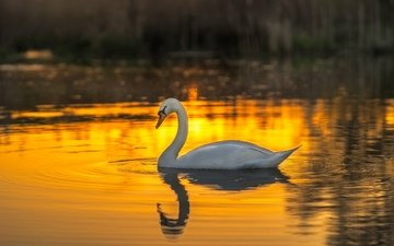 water, sunset, white, bird, swan, mute