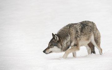 зима, хищник, волк, andy astbury