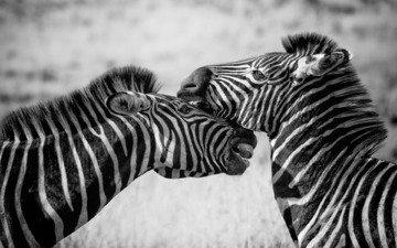 зебра, животные, чёрно-белое, зебры