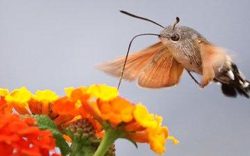 цветы, макро, бабочка, мотылек