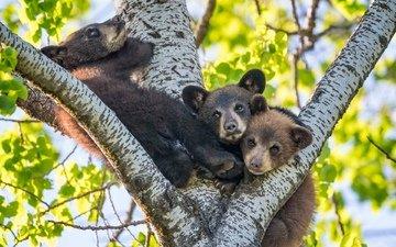 дерево, медведи, на дереве, медвежата, троица