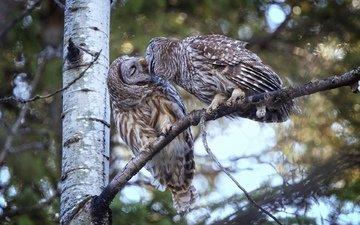 дерево, птицы, парочка, поцелуй, совы