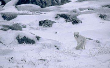 снег, природа, зима, канада, песец, полярная лисица, арктическая лиса
