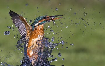 вода, макро, капли, брызги, птица, рыба, зимородок