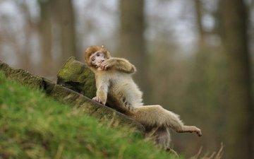 мордочка, взгляд, обезьяна, мартышка