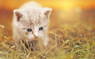 трава, кот, мордочка, усы, кошка, взгляд, котенок, размытость