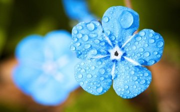 flowers, petals, blur, water drops, closeup, forget-me-not