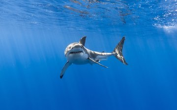 shark, underwater world, white shark