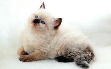 кот, мордочка, усы, кошка, взгляд, котенок
