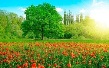 небо, цветы, трава, облака, деревья, солнце, природа, зелень, лес, парк, поле, лето, красные, маки