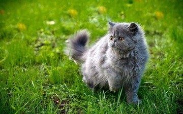 трава, кот, мордочка, усы, кошка, взгляд, персидская