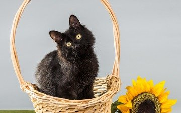 цветок, кот, мордочка, усы, кошка, взгляд, поляна, подсолнух, корзинка