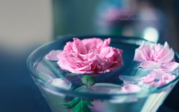 flowers, water, roses, petals, wihad