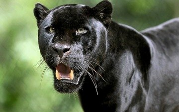 хищник, большая кошка, пантера, черный ягуар