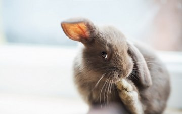 серый, ушки, кролик, зайчик