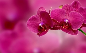 branch, background, flower, petals, pink, orchid, inflorescence