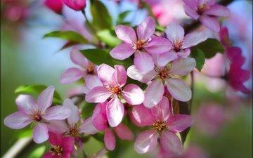 цветы, природа, цветение, весна, яблоня