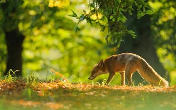 trees, forest, animals, branches, foliage, autumn, red, fox, bokeh