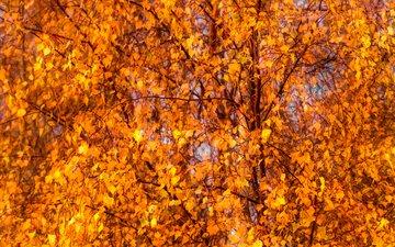 деревья, листья, осень, лист, береза