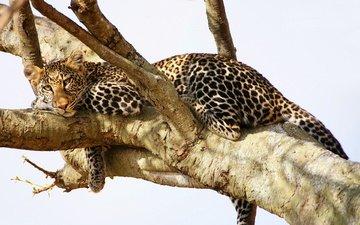 дерево, взгляд, леопард, хищник, отдых