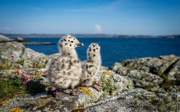 nature, stones, sea, seagulls, norway, chicks, bokeh