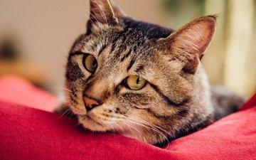 глаза, фон, кот, мордочка, усы, кошка, взгляд