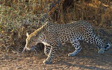 leopard, sneaks