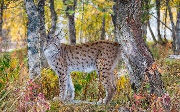 лес, рысь, осень, хищник