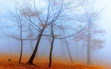 trees, forest, fog, autumn