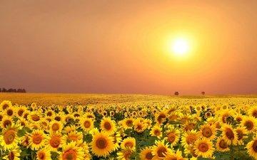 flowers, the sun, field, summer, sunflowers