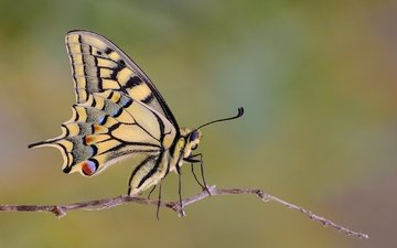 macro, insect, butterfly, wings, sprig, swallowtail