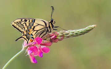 macro, insect, flower, butterfly, wings, swallowtail