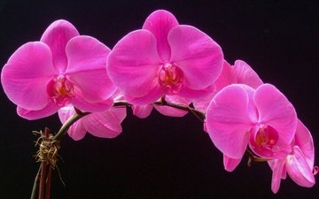 flowers, macro, background, petals, orchid, inflorescence