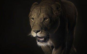 морда, кошка, тень, хищник, лев, темный, большая