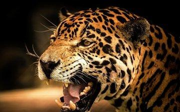 морда, взгляд, леопард, оскал